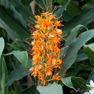 Hedychium Coccineum Tara