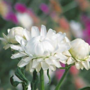 Immortelle blanche