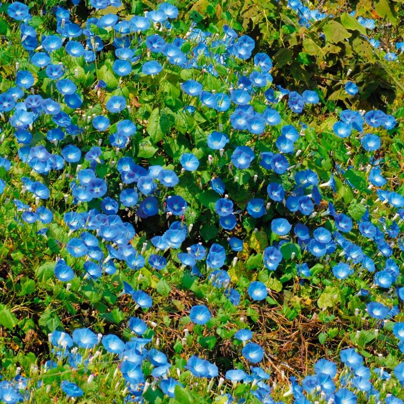 Ipomée Heavenly Blue