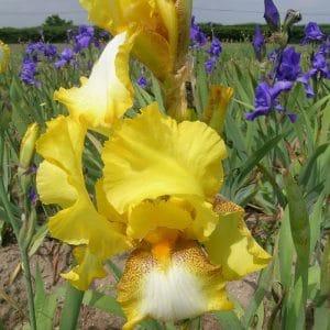 Iris Germanica Apogée