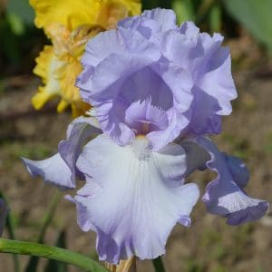 Iris Germanica Bleu Pâle