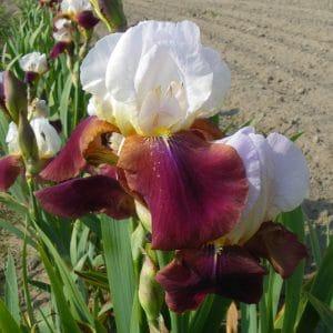 Iris Germanica Chapeau