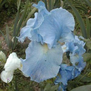 Iris Germanica Cristal Bleu