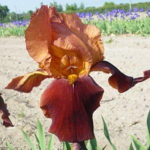 Iris Germanica Havana