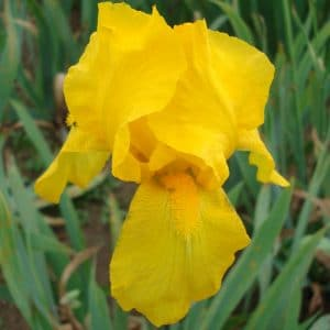 Iris Germanica Jaune