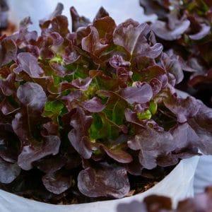 Laitue À Couper Red Salad Bowl