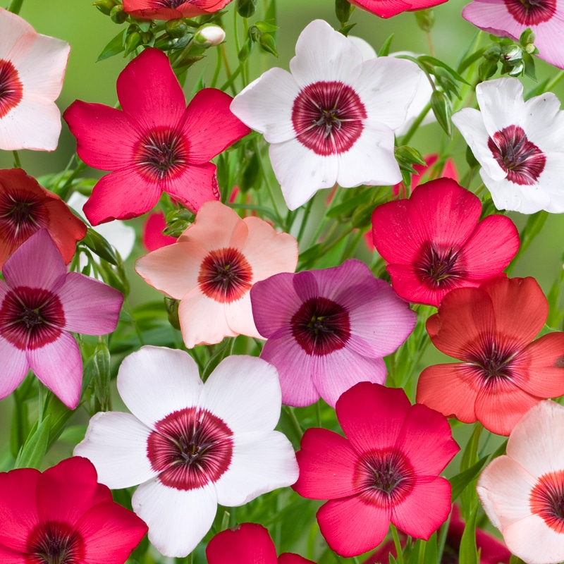 Lin Annuel à grande fleur varié