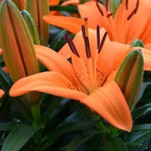 Lis Asiatique Orange Pixie