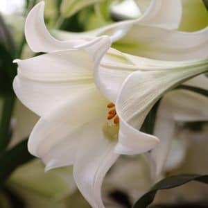 Lis Trompette White Heaven
