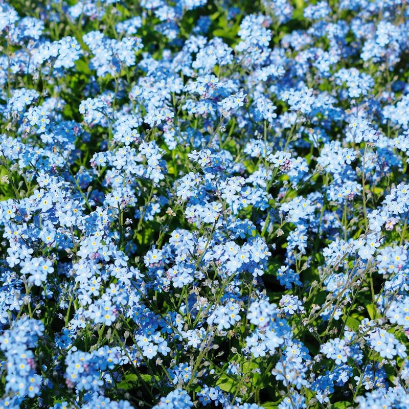 Myosotis Des Alpes Bleu
