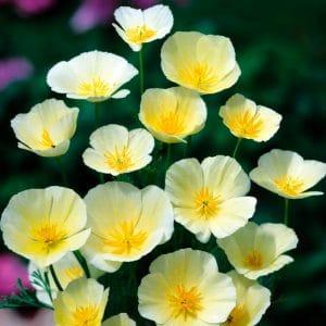 Pavot de Californie jaune