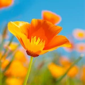 Pavot de Californie Orange Bio
