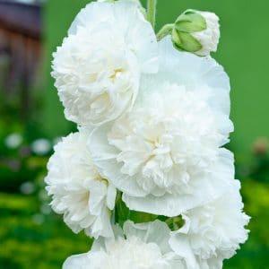 Rose Trémière double blanche