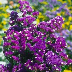Statice Sinuata Purple Attraction
