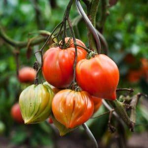 Tomate Cuor Di Bue (Cœur De Bœuf) BIO
