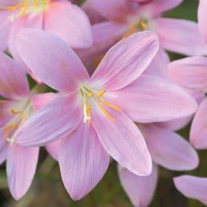 Zéphyranthe Grandiflora
