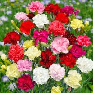 Œillet des fleuristes varié