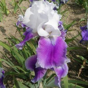 Iris  Germanica Margarita