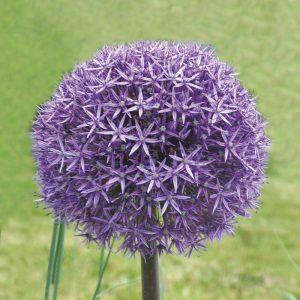 Allium aflatunense Gladiator