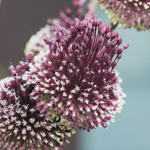 Allium amethystinum Red Mohican