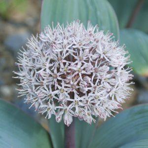 Allium karataviense