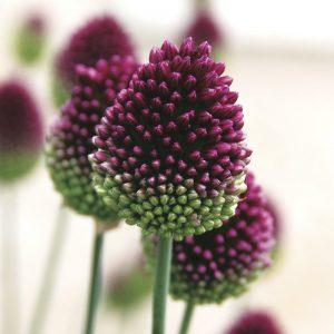 Allium sphaerocephalum