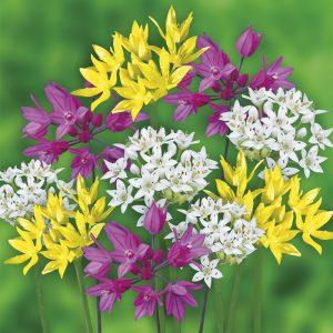 Alliums nains variés