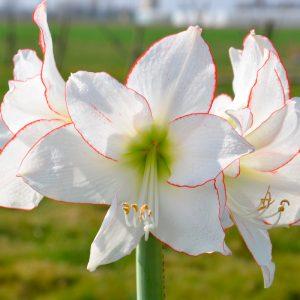Amaryllis Simple Picotée