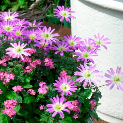 Anemone blanda Rosea