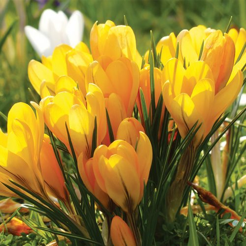 Crocus à Grandes Fleurs Grand Jaune