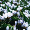 Crocus Botanique Blue Pearl