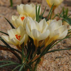Crocus Botanique Cream Beauty