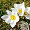 Crocus Botanique Snowbunting