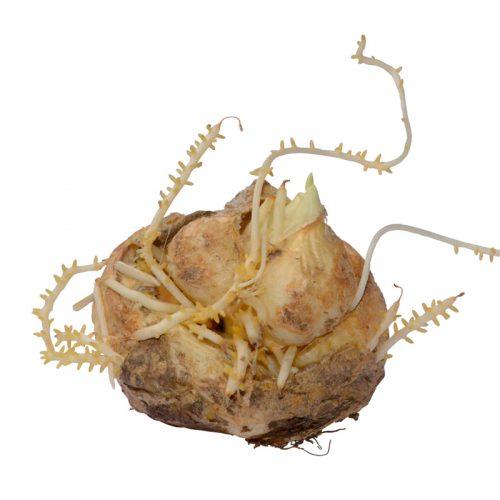 Fritillaire imperialis Lutea