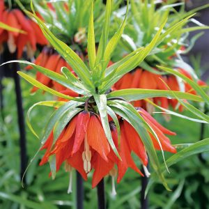 Fritillaire imperialis Rubra