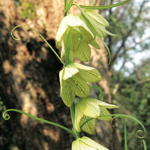 Fritillaire pallidiflora