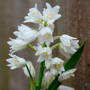 Hyacinthoides hispanica Blanc (Scilla Campanulata)