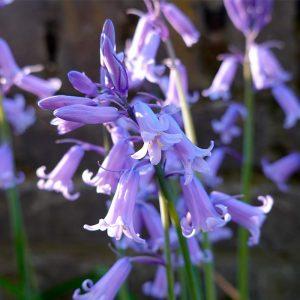 Hyacinthoides hispanica Violet (Scilla Campanulata)