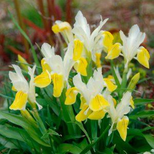 Iris Botanique bucharica