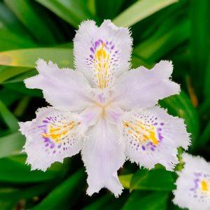 Iris Botanique japonica