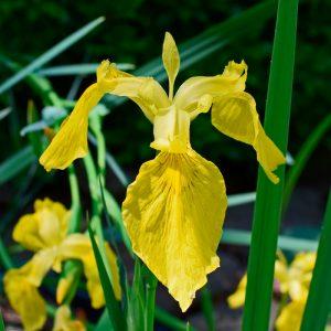 Iris Botanique pseudacorus