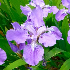Iris Botanique unguicularis