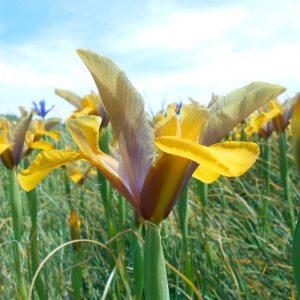 "Iris hollandica Bronze Perfection ""Fleurs De France"""