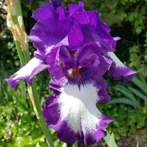 Iris germanica Acropole