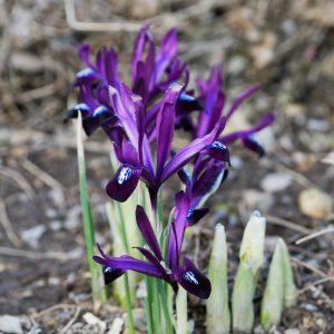 Iris de Hollande Nain reticulata Pauline