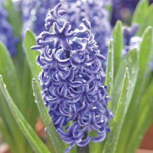 Jacinthe de Bretagne Bleu de Delft