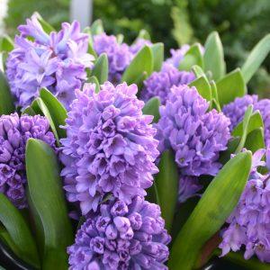 Jacinthe de Bretagne Purple Star