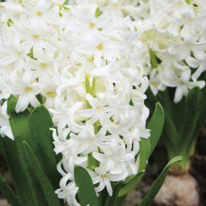 Jacinthe préparée White Pearl