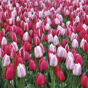 Melange Tulipes Mix Delight