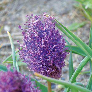 Muscari comosum Plumosum